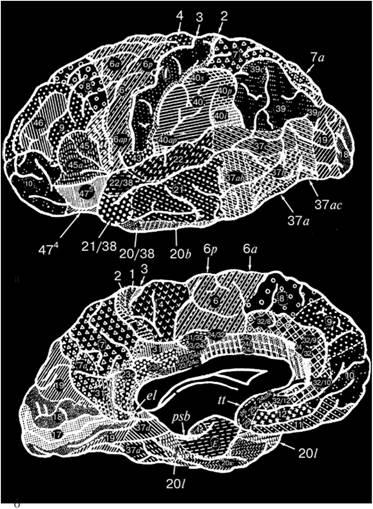 Карта цитоархітектоніки кори лівої півкулі великого мозку (за даними Інституту мозку Росії):